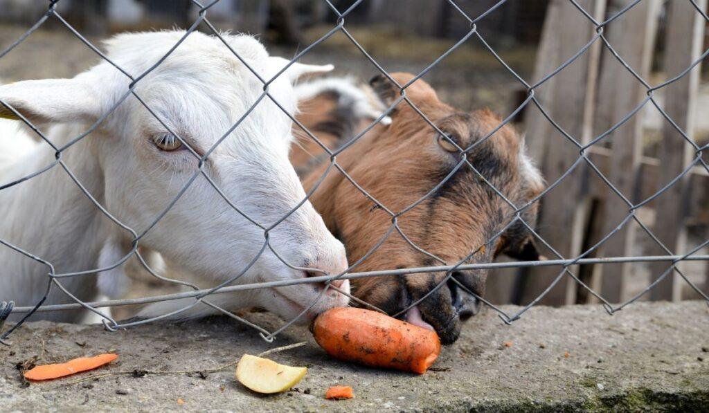 Goat Eating Carrots