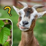 Can Goats Eat Poison Ivy?