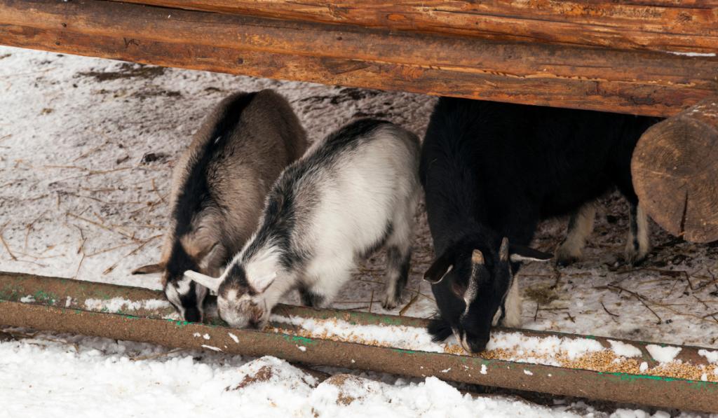 Goats-eating