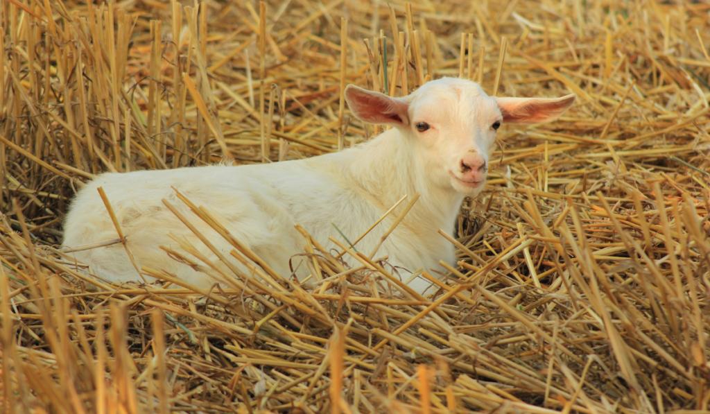 Goats-iin-straw
