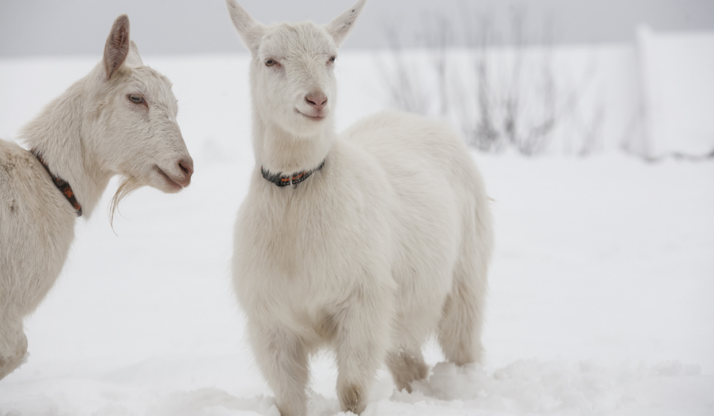 Goat standing in the snow in a winter