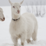 How to Keep Goats Warm In the Winter: The Ultimate Guide