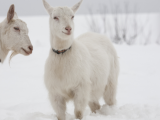 Goats-in-winter