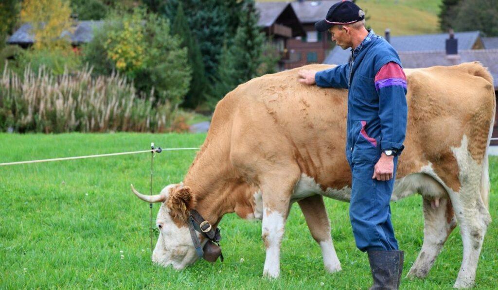Inspecting Cow's Body