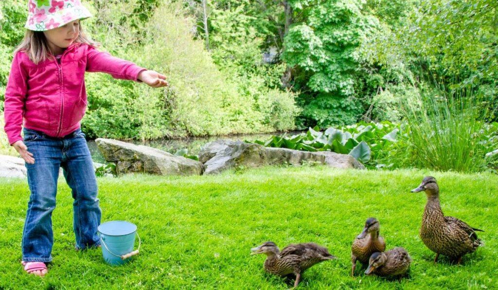 Little Girl feeding the ducklings