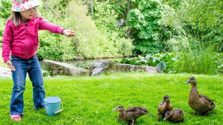 Little-Girl-feeding-the-ducklings