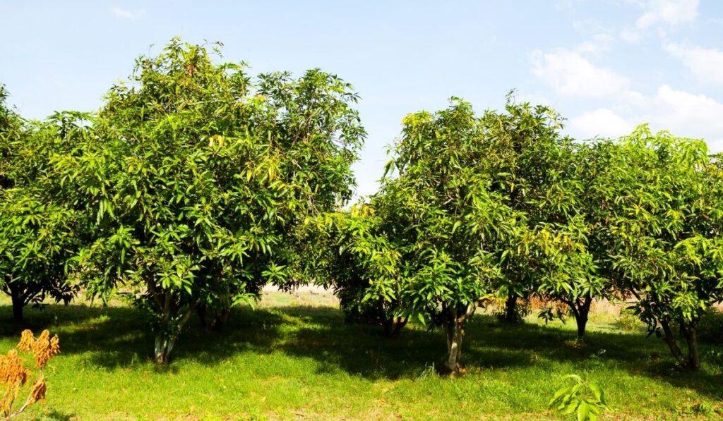 Mango Trees
