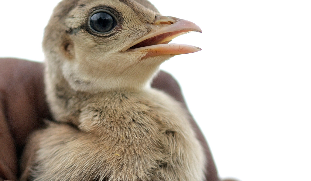 Peachick  carried by a hand.
