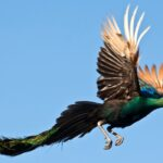 Can A Peacock Fly?