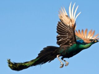 Peacock-Flying