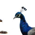 Do Peacocks Eat Snakes?
