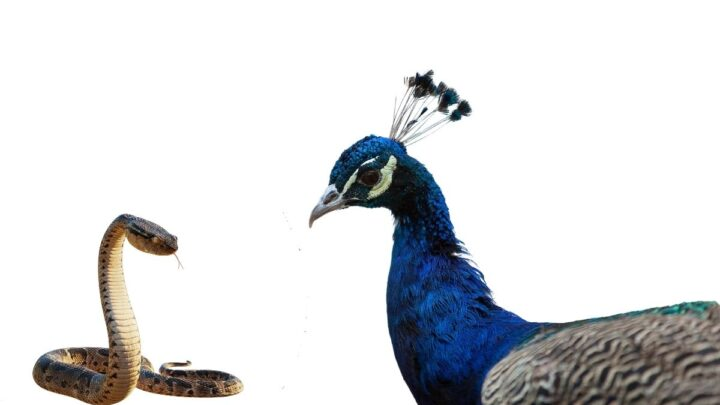 Peacock-and-Snake