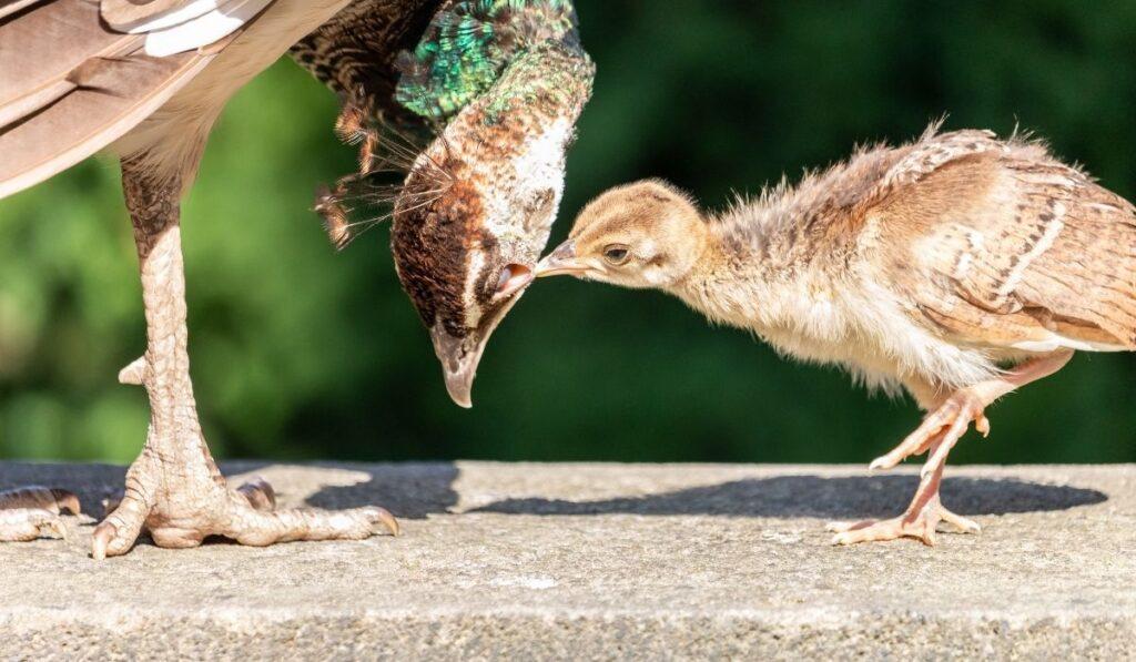 Peacock chicks