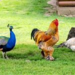 Can You Raise Peacocks and Chickens Together?