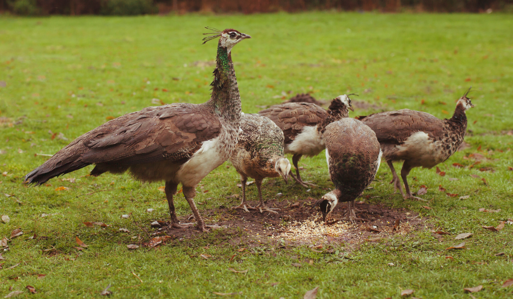 Peacocks eating