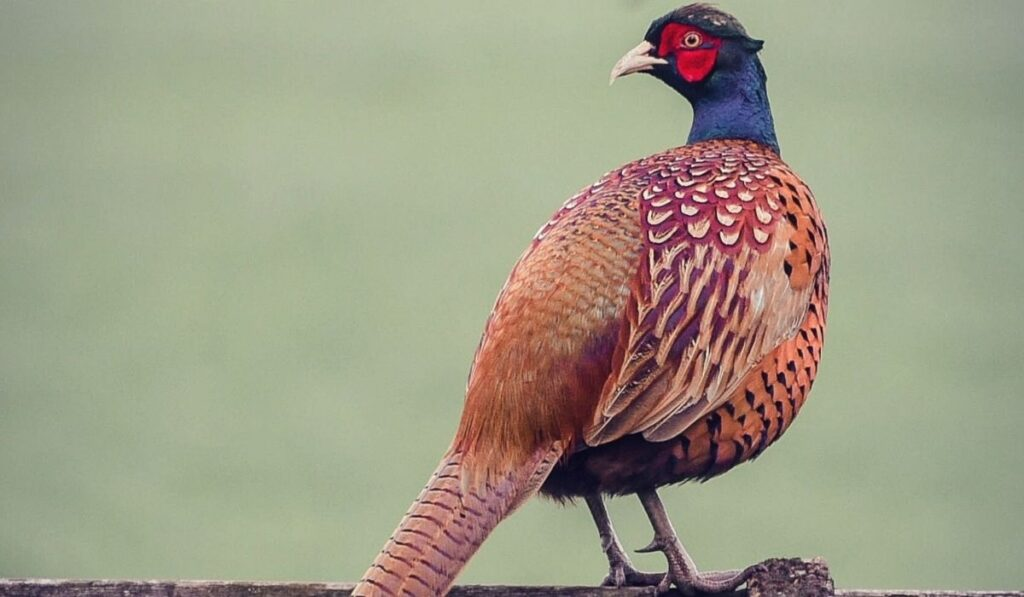 Pheasant on Top Of Wood Fence