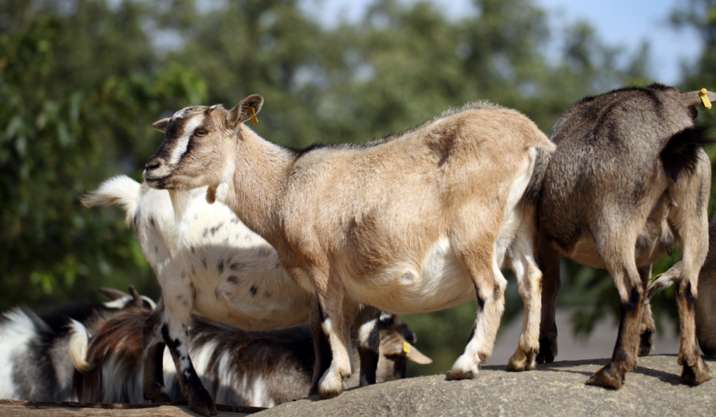 Goat standing on a rock with other goats on the background