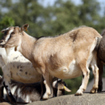Why do Pygmy Goats have big bellies?