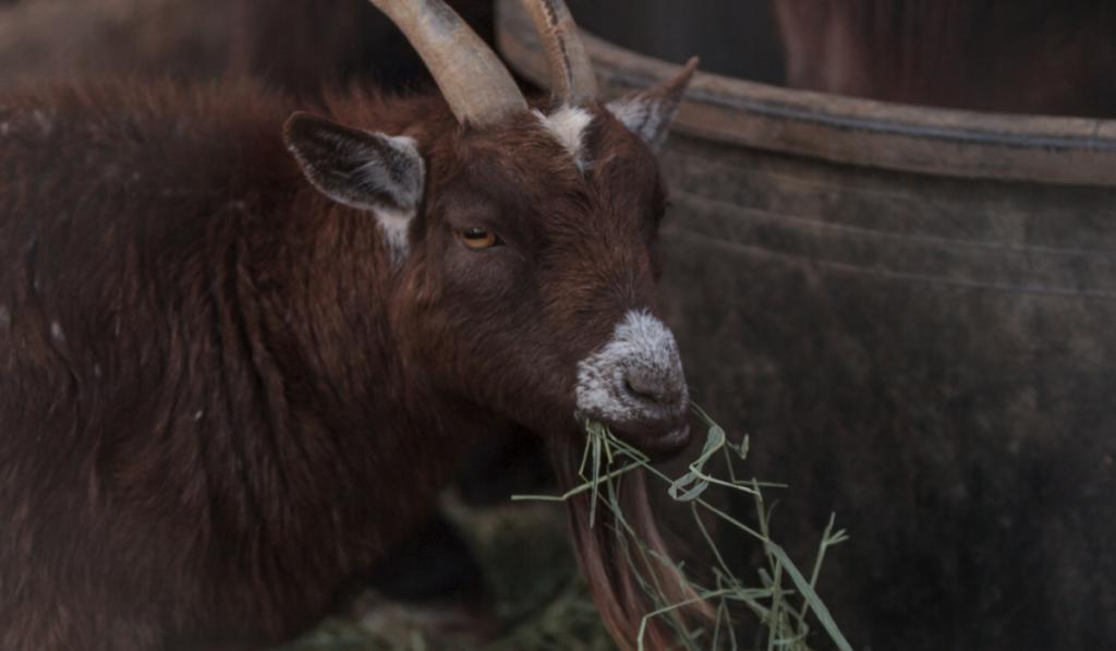 Pygmy-Goats-2-1