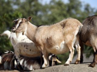 Pygmy-Goats