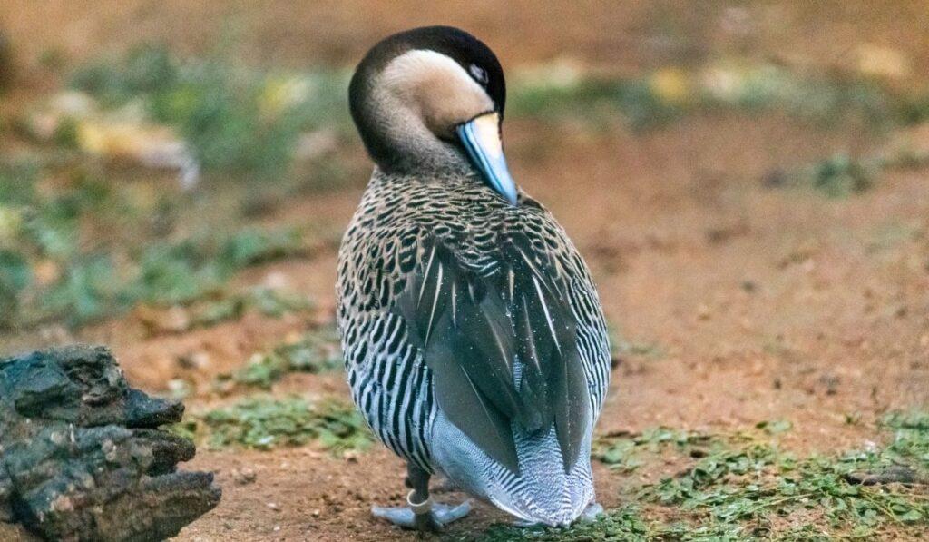 Silver Teal Ducks