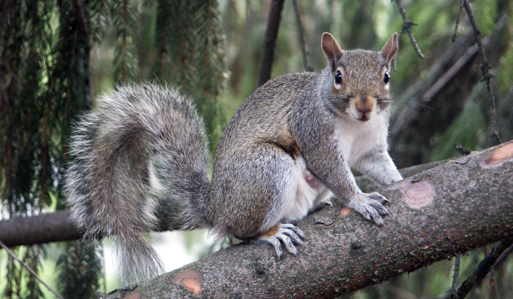 Squirrel standing on the branch