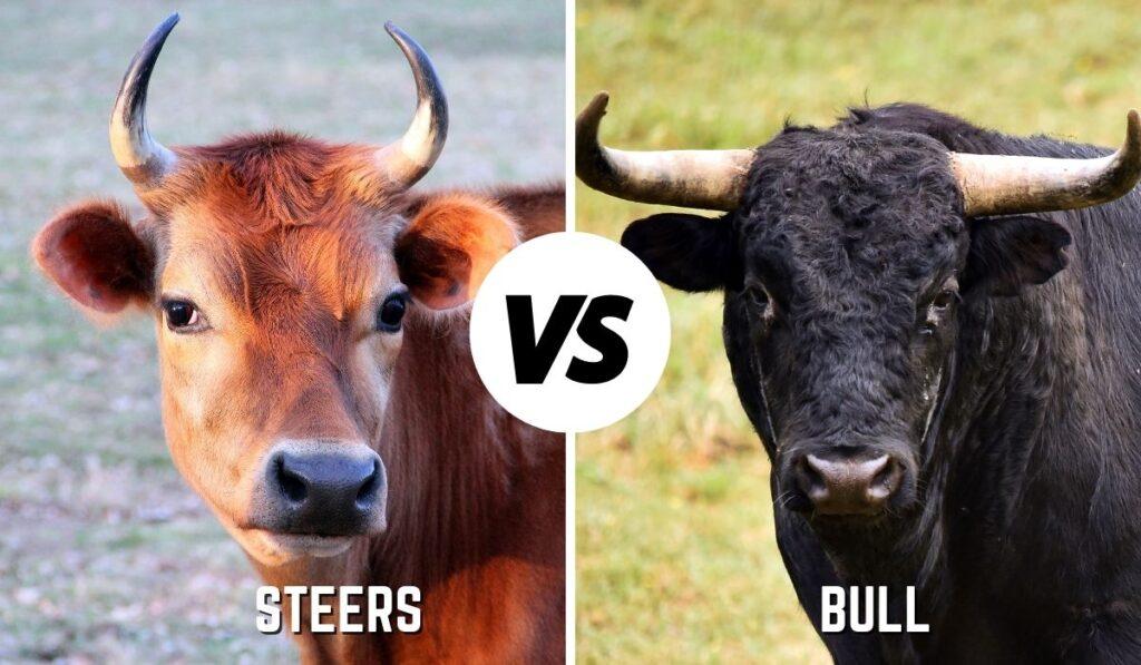 Steers vs Bulls