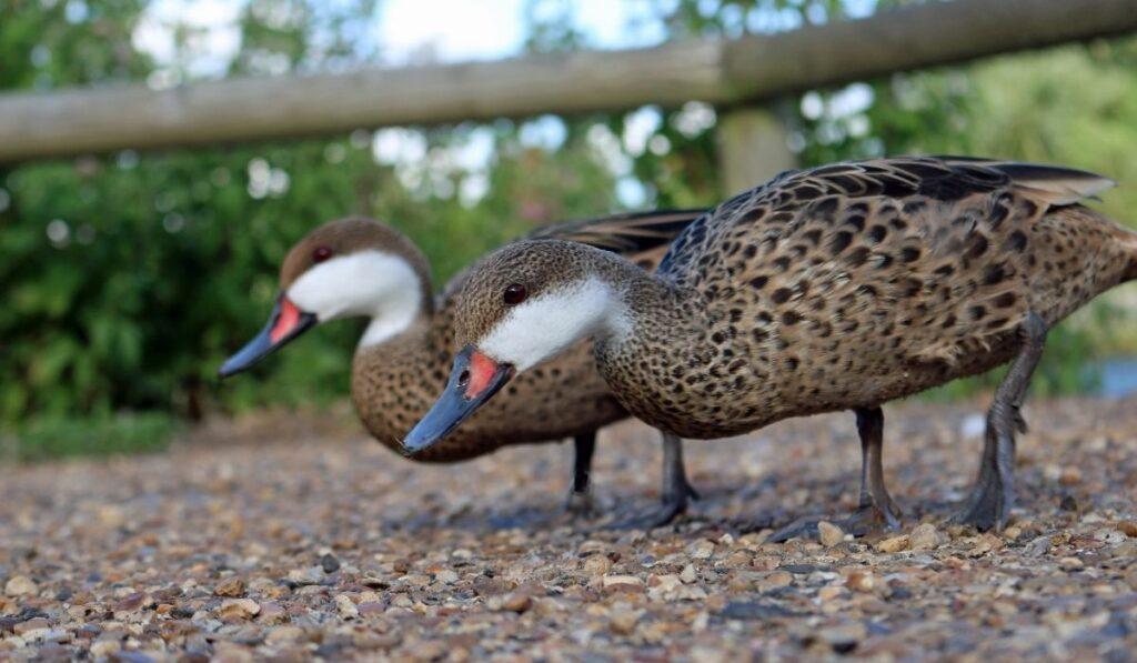 White-Cheeked Pintail Ducks