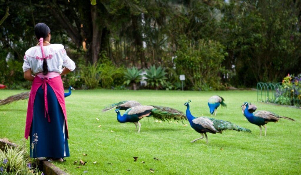 Woman Feeding Peacocks