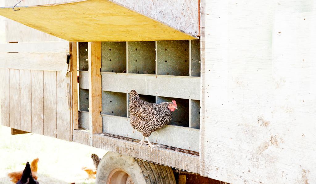 Chicken walking on chicken coop