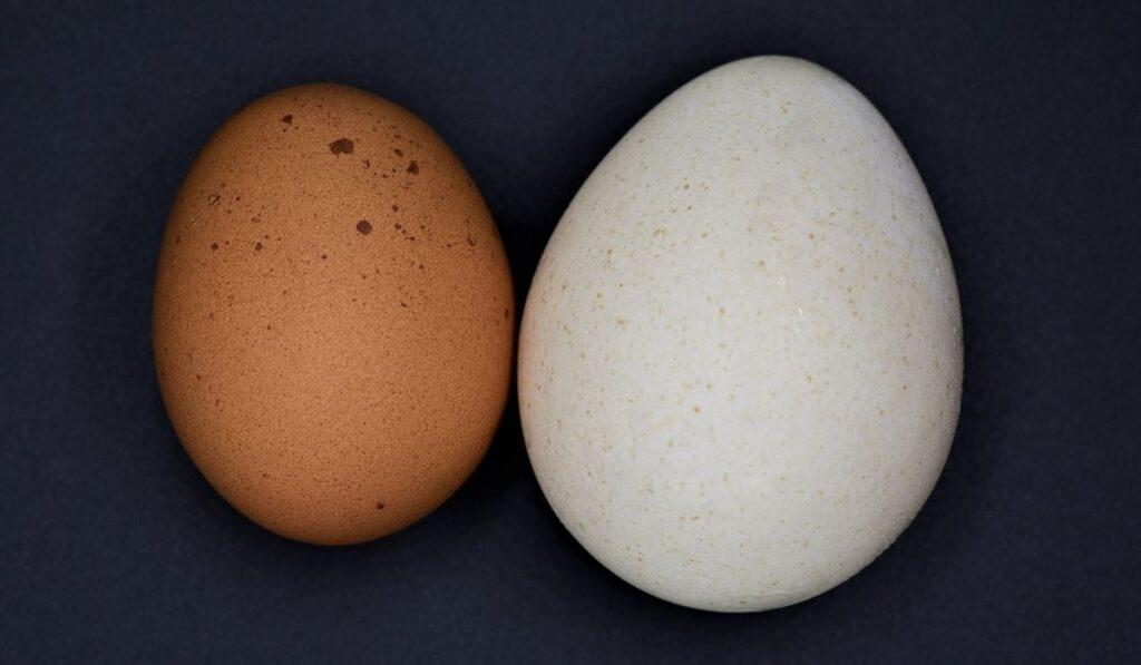chicken egg versus turkey egg on black background