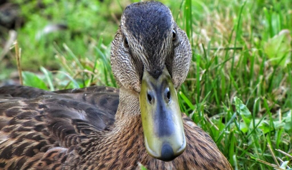 close up photo of a duck