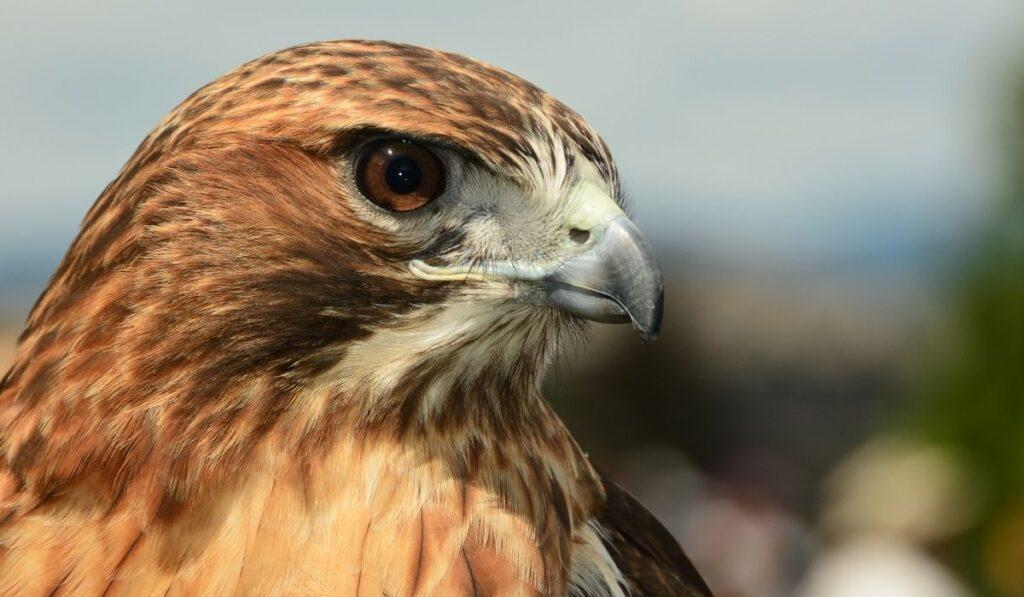 close up photo of a hawk