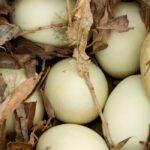 Do Ducks Move Their Eggs?