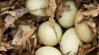 duck eggs on dried leaves