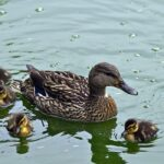 Do Ducks Have Periods? (9 Facts About Ducks Reproductive Cycle)