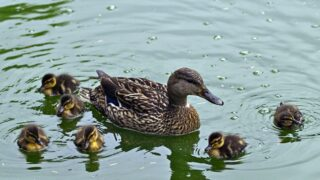 duck with ducklings in the water