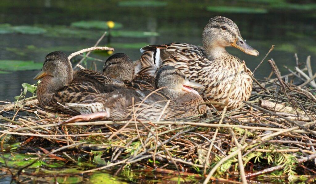 ducks on a nest
