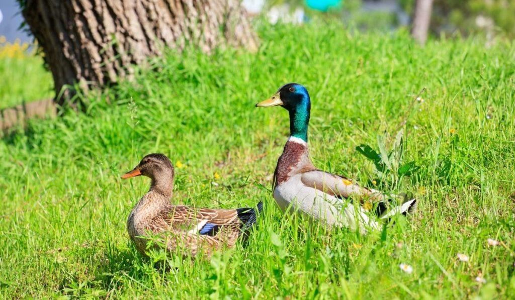 ducks on the grass