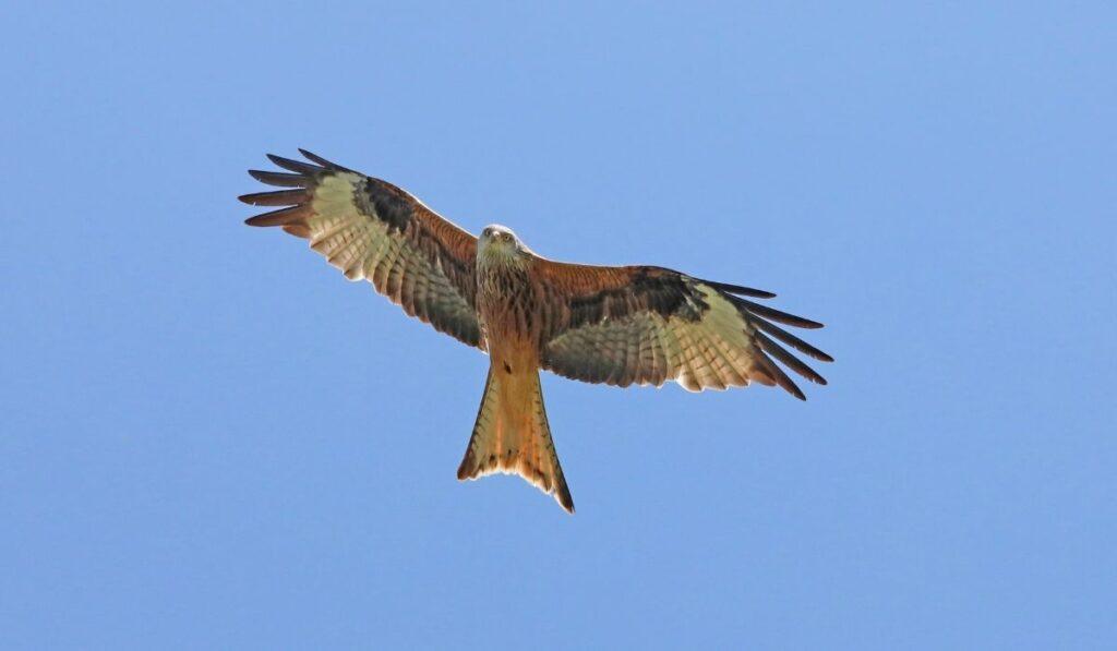 flying hawk in a clear blue sky