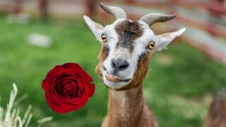 goat and a rose