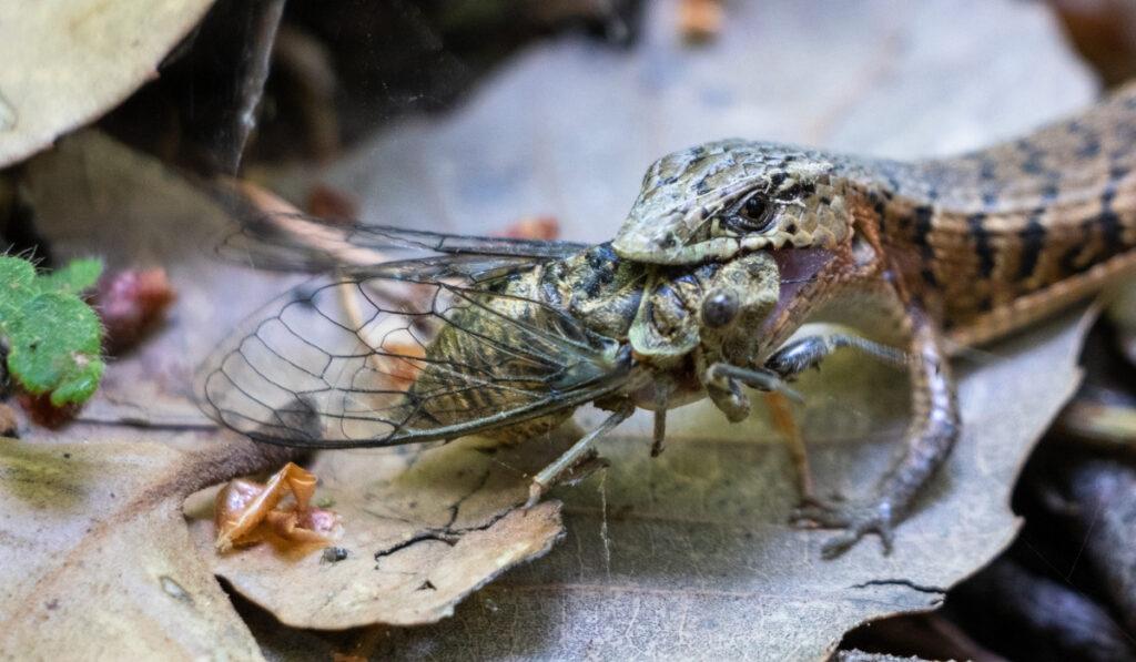 lizard eating a cicada