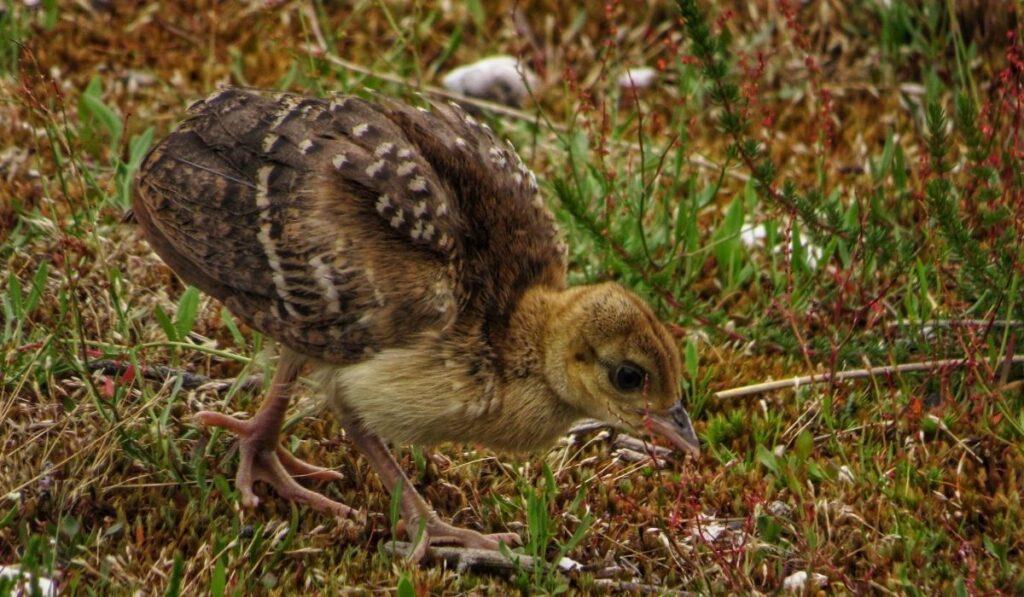 peachick roams in the yard