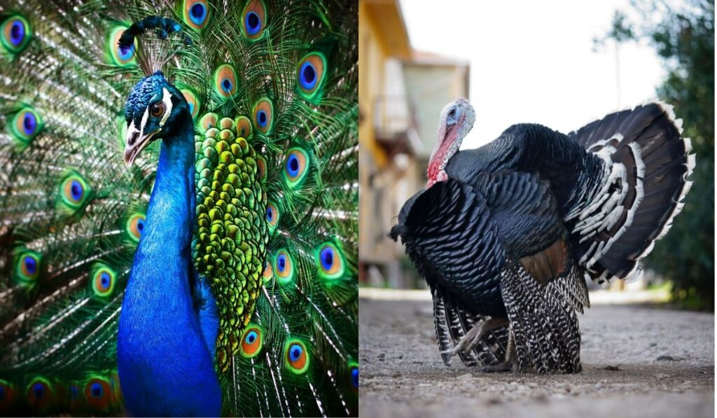 peacock-and-turkey-side-by-side