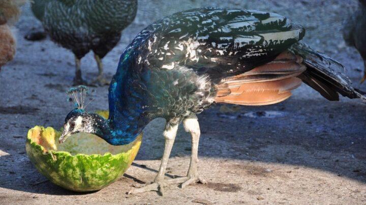 peacock eating a watermelon