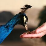 5 Best Items for Baby Peacocks to Eat