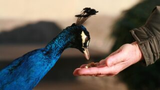 peacock-eating-from-the-hand