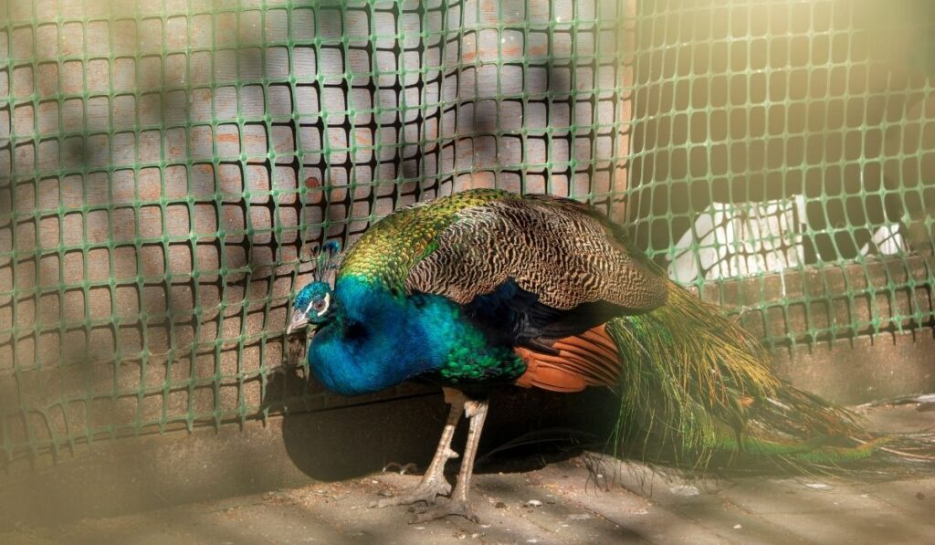 peacock in a pen