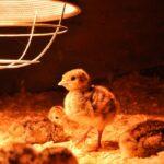 Beginners Guide to Raising Turkey Chicks