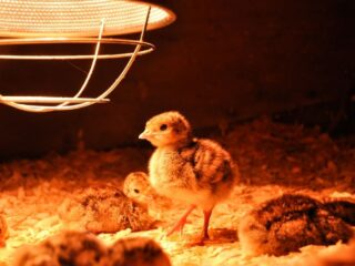 turkey-poults-under-a-heat-lamp